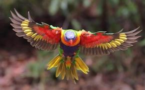 Обои животные, птица, крылья, размытие, попугай, полёт, расцветка, боке, оперение, многоцветный лорикет