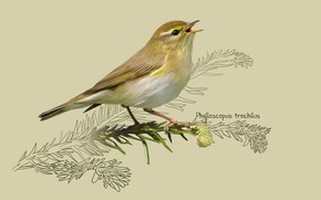 Картинка арт, птичка, kate kondrukhova, Пеночка-весничка, The willow warbler