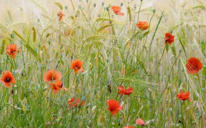 Обои Франция, маки, пшеничное поле, цветы