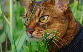 Обои кот, глаза, морда, трава, усы