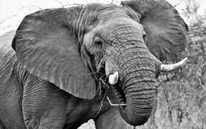 Картинка слон, кожа, уши, бивни