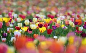 Картинка цветы, краски, весна, тюльпаны, боке