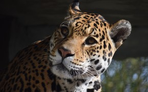 Картинка Кошка, Ягуар, Морда, Животное