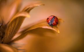 Обои лепестки, божья коровка, насекомое, цветок