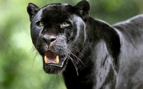 Обои Ягуар, взгляд, Чёрная пантера, клыки, морда, дикая кошка