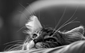Обои кошка, кот, мордочка, чёрно-белая, котёнок, монохром, мечтатель