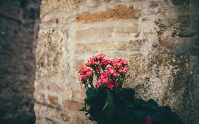 Картинка цветы, красные, розовые, Каланхоэ