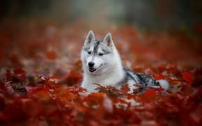 Картинка осень, портрет, собака, боке, Хаски