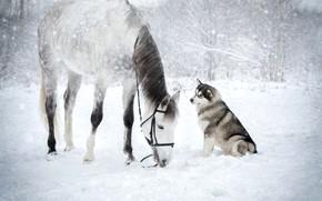 Картинка зима, снег, лошадь, хаски