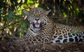 Картинка взгляд, хищник, ягуар, дикая кошка