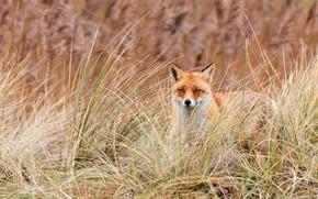 Картинка трава, взгляд, природа, фон, лиса, рыжая, мордашка, лисица, былинки