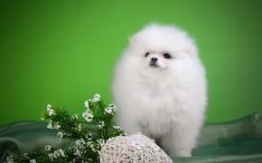 Картинка белый, цветы, щенок, порода, шпиц