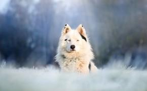 Картинка взгляд, морда, собака, боке