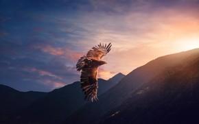 Обои небо, полет, птица, орел, хищник