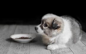 Картинка животное, доски, собака, пол, щенок, корм, блюдце