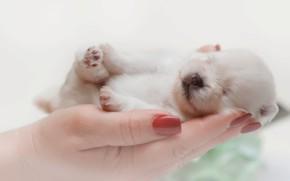 Картинка собака, руки, малыш, спит, щенок, шпиц