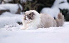 Обои Рэгдолл, снег, зима, пушистая, кошка
