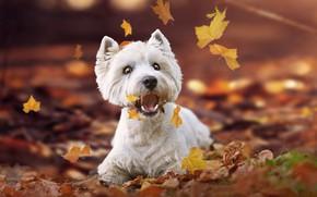Картинка осень, листья, пёсик, Вест-хайленд-уайт-терьер