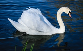 Картинка белый, вода, озеро, пруд, птица, крылья, рябь, профиль, белая, лебедь, водоем, шея, синий фон, плывет, …