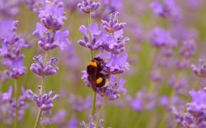 Картинка шмель, Лаванда, Lavender, Wasp