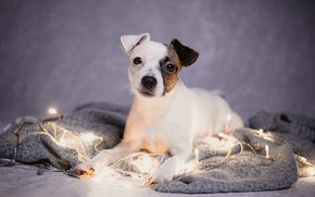 Картинка взгляд, портрет, собака, плед, гирлянда, пёсик, Парсон-рассел-терьер