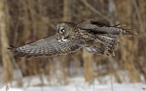 Картинка полет, сова, птица