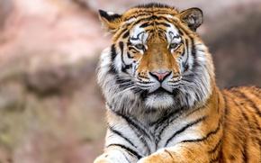 Обои морда, тигр, взгляд