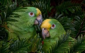 Картинка ары, Птицы, отдых, дерево, попугаи, пара
