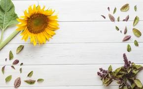 Картинка цветок, фон, подсолнух, листики