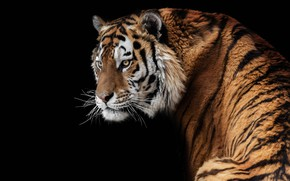 Обои амурский, хищник, красавец, тигр