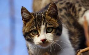 Картинка кошка, небо, глаза, кот, взгляд, морда, котенок, фон, голубое, портрет, мордочка, котёнок, полосатый, серый с …