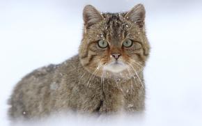 Обои дикая кошка, снег, Европейская лесная кошка, взгляд