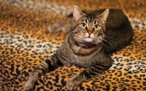 Картинка кошка, кот, взгляд, серый, фон, покрывало, постель, полосатый, развалился, леопардовый, гламурр, гламурная киса