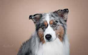 Обои собака, взгляд, портрет, Аусси, фон, Австралийская овчарка, мордочка, фотосессия