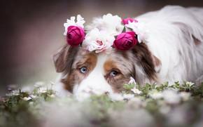 Картинка взгляд, морда, цветы, собака, венок, Австралийская овчарка, Аусси