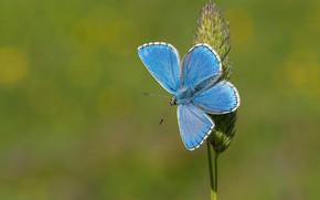 Картинка макро, фон, бабочка, травинка, Голубянка красивая