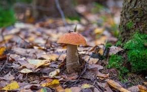 Картинка листья, гриб, подосиновик