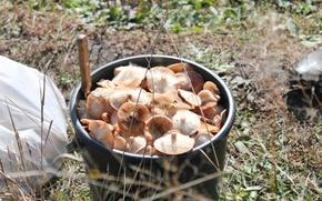 Картинка лес, грибы, добыча, опята
