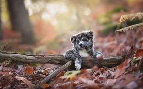 Картинка осень, природа, собака