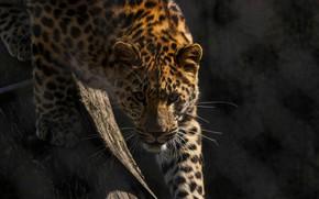 Обои дикая кошка, смотрит, морда, решётка, зоопарк, хищник, амурский леопард