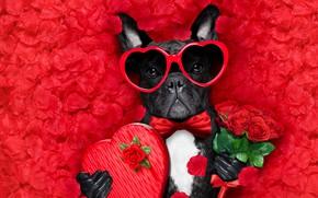 Картинка собака, лепестки, love, rose, dog, romantic, hearts, funny, valentine, petals, красные розы