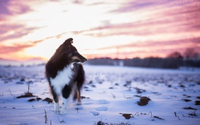 Картинка зима, закат, собака