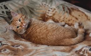 Картинка Кошка, Cat, Рыжая кошка