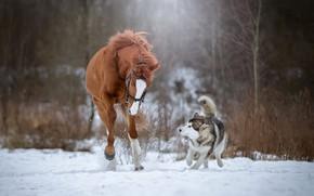 Картинка снег, лошадь, собака, бег, хаски