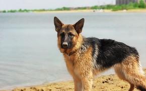 Картинка озеро, фон, друг, собака, овчарка