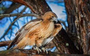 Картинка птица, хищная, Краснохвостый сарыч