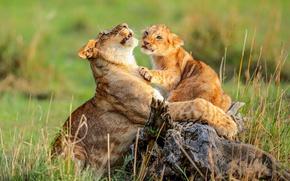 Картинка трава, львица, мама, львенок, котёнок, Африка, дикая, кошка