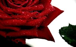 Картинка макро, Капли, Macro, Red rose, Drops, Красная роза