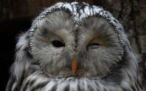 Картинка сова, птица, клюв