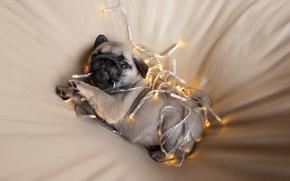 Картинка puppy, look, Christmas lights